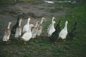 Ducks (1 of 4)