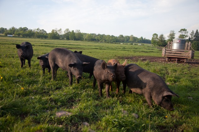 SPRING LAKE FARM PIGS-1-2