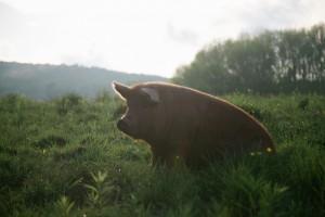 SPRING LAKE FARM PIGS-1-4