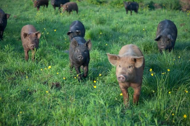 SPRING LAKE FARM PIGS-10