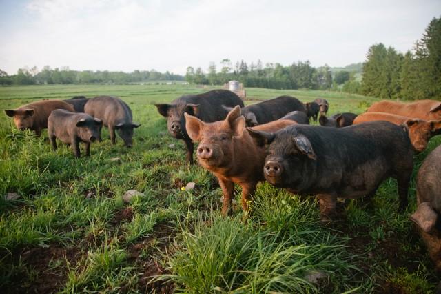 SPRING LAKE FARM PIGS-11
