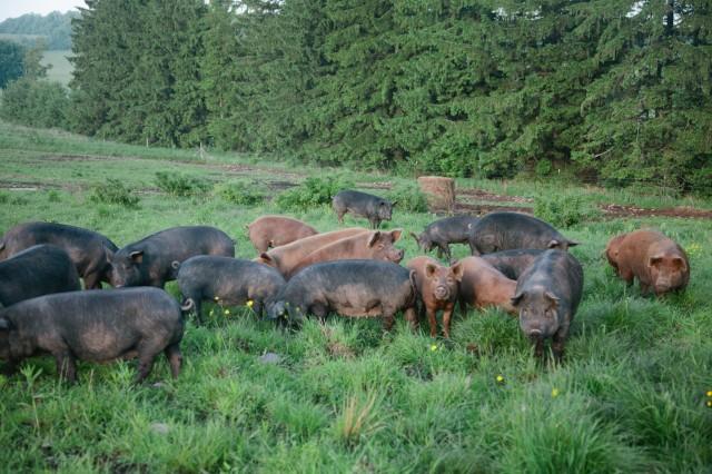 SPRING LAKE FARM PIGS-12