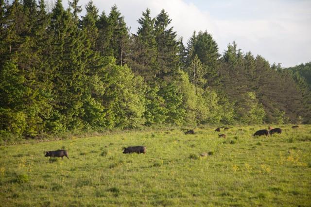 SPRING LAKE FARM PIGS-2