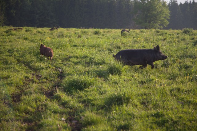 SPRING LAKE FARM PIGS-3