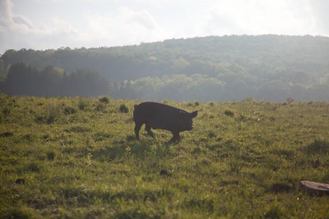 SPRING LAKE FARM PIGS-4