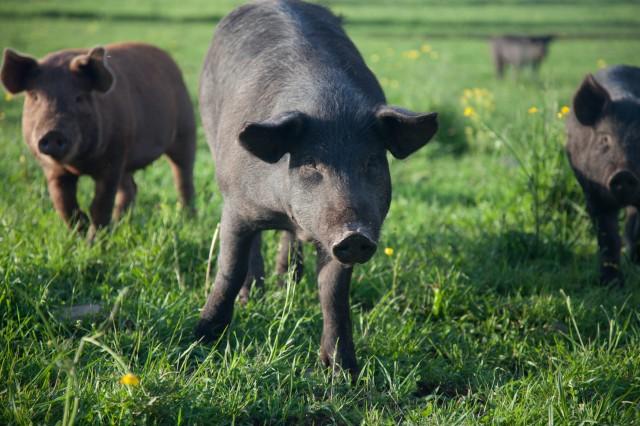 SPRING LAKE FARM PIGS-5