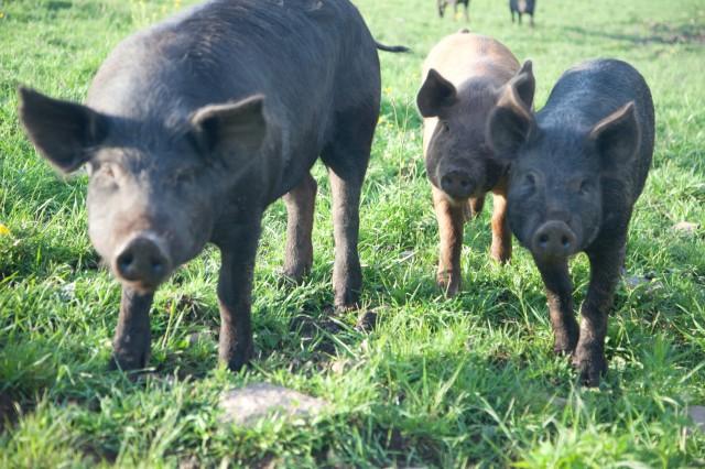 SPRING LAKE FARM PIGS-6